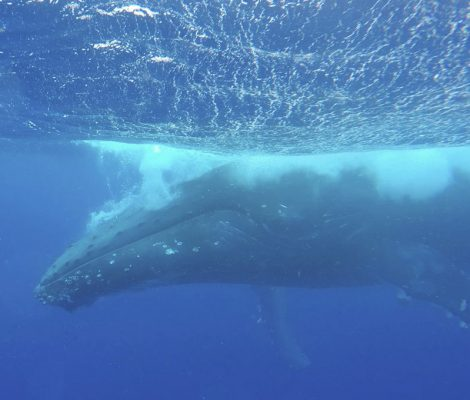 Nadar con ballenas en libertad