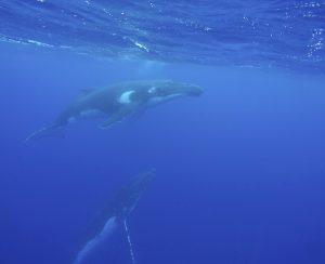 Bañarse con ballenas en Tonga