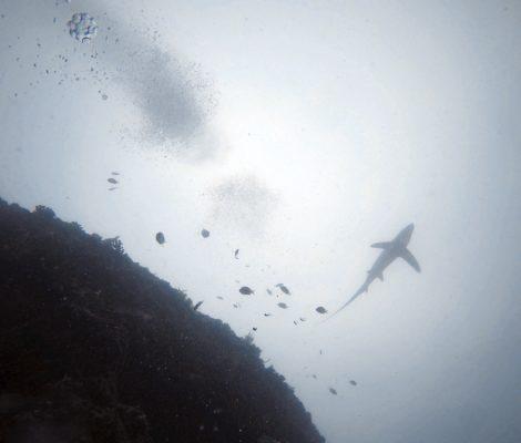 Buceo con el tiburón zorro en Filipinas