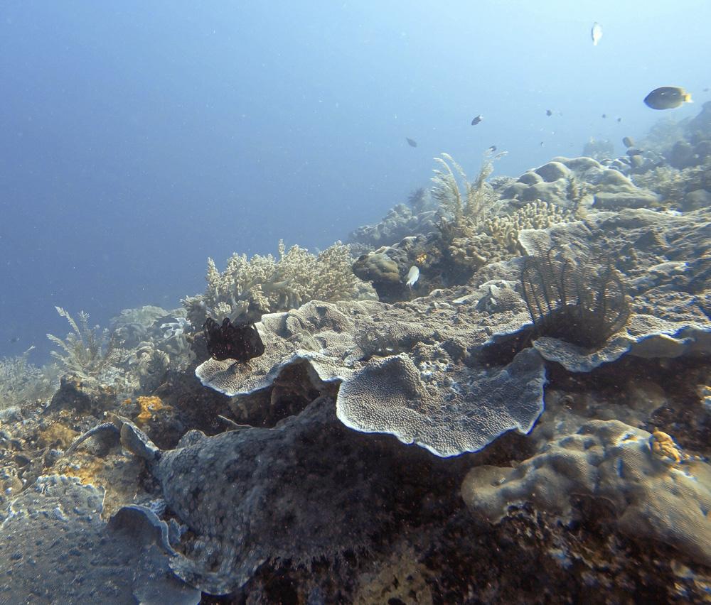Wobbegong, tiburón carpeta